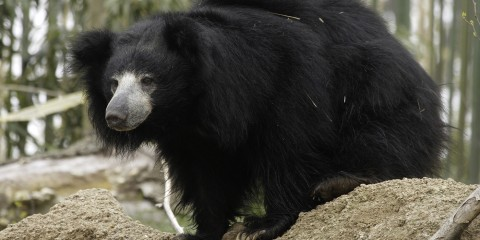 Sloth Bear on a rock