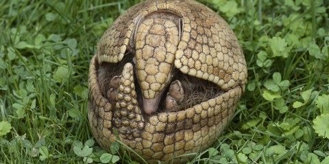 Bowling-ball sized armadillo in a ball