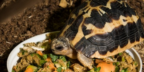 A spider tortoise standing in a bowl of food