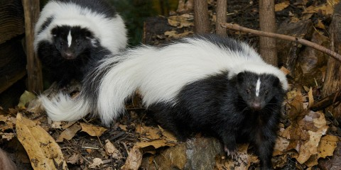Two skunks with black and white fur and a think white mark on their foreheads