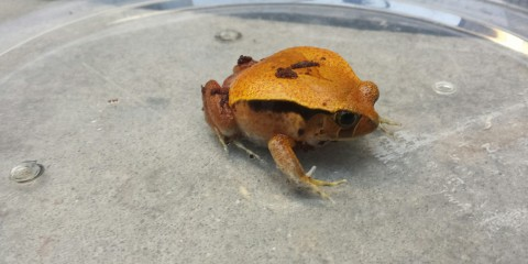 A tomato frog
