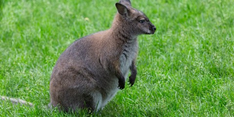 A small Bennett's wallaby, with brown fur, short arms and a long tail, standing in the grass