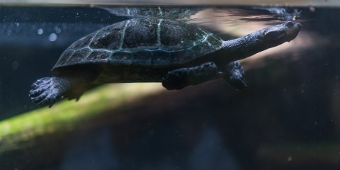 Yellow-spotted Amazon River turtle swimming underwater