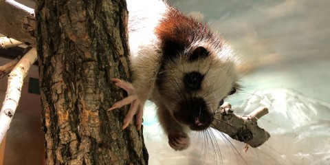 A cloud rat climbs over a branch. It has thick fur, long whiskers and long fingers with sharp claws