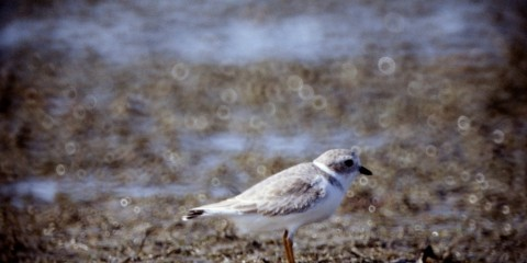 A small bird called a piping plover stands on a sandy shore