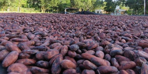 The ground covered in drying cocoa beans, with leafy trees visible in the background