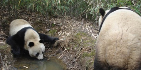 Two giant pandas traversing a muddy creek