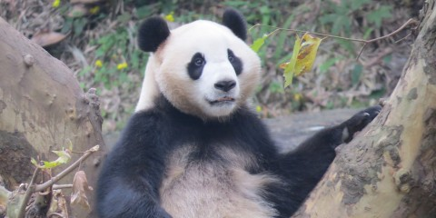 A giant panda at the Chengdu Panda Base in China
