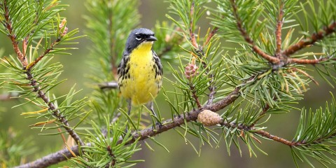 A Kirtland's warbler songbird perched on a branch