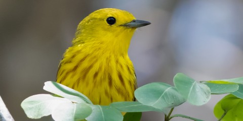 A yellow warbler perched on a branch with green leaves