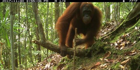 A camera trap photo of an orangutan moving across a forest floor in Sarawak, Malaysia (Borneo)