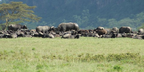 water buffalo on grassland