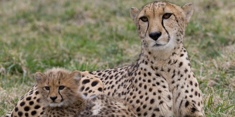 cheetah cub and mom