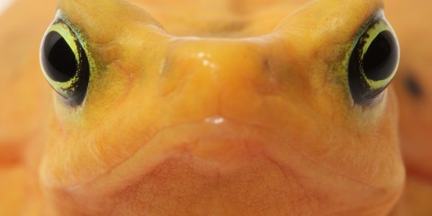 close-up of Panamanian golden frog face