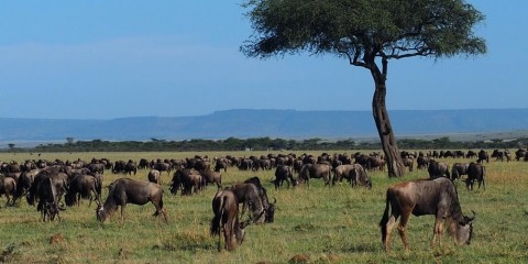 Herd of wildebeest grazing on an open grassy plain with one tree