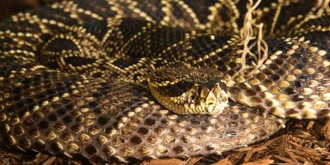 Eastern diamondback rattlesnake | Smithsonian's National Zoo