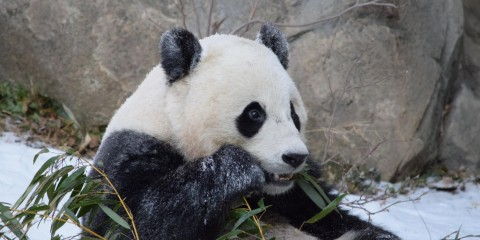 Giant panda Bao Bao eats a piece of bamboo outside in the snow