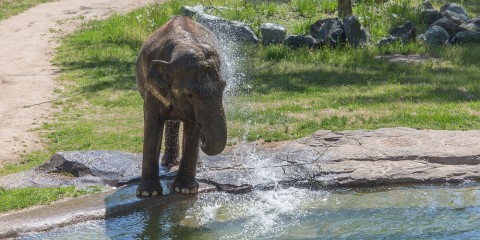 An Asian elephant at the Smithsonian's National Zoo stands near a pool and uses its trunk to splash water on its back
