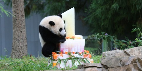 Giant panda Bao Bao climbing her birthday ice cake
