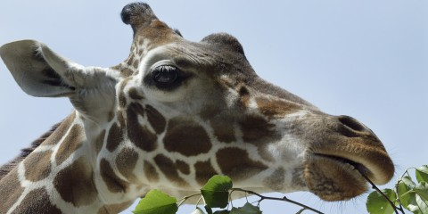 A giraffe eating leaves