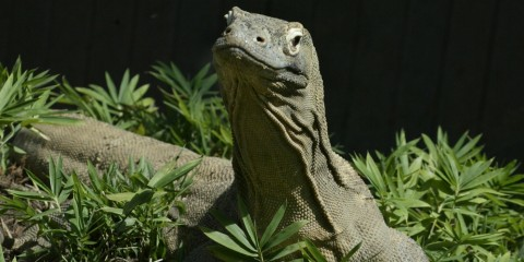 Komodo dragon with foliage in foreground and background