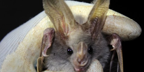 Bat with Smithsonian Global Health Researcher