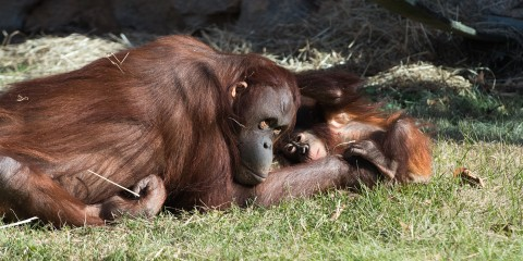 Adult female orangutan Batang and infant orangutan Redd lay together in the grass on a sunny day