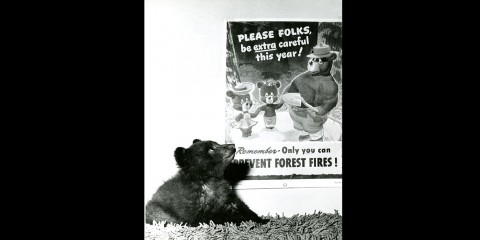 a tiny bear cub looks up at a Smokey Bear poster