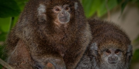 Titi monkeys Henderson (left) and Kingston (right) at Amazonia.