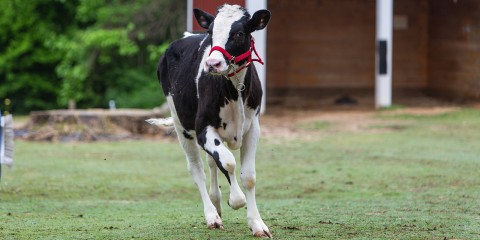 A black-and-white holstein calf (cow) running through the grass in front of the barn at Smithsonian's National Zoo's Kids' Farm exhibit