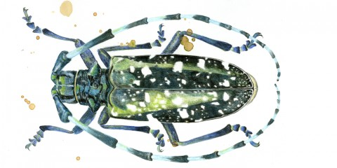 An illustrated beetle by artist Maggie Gourlay
