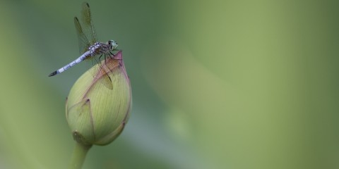 Dragonfly on a Lotus Flower