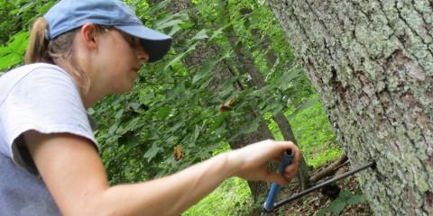 scientist conducting tree coring