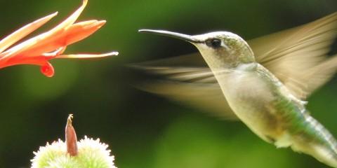 Hummingbird Nectar Recipe Smithsonian Migratory Bird Center