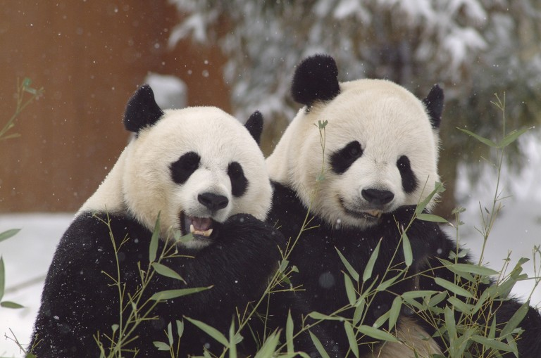 Two giant pandas, a female named Mei Xiang and a male named Tian Tian, sit side by side in the snow eating bamboo
