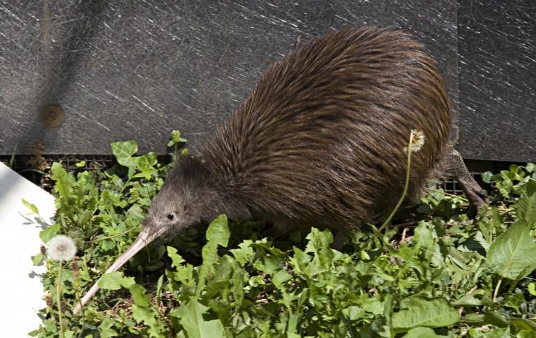 Kiwi at SCBI