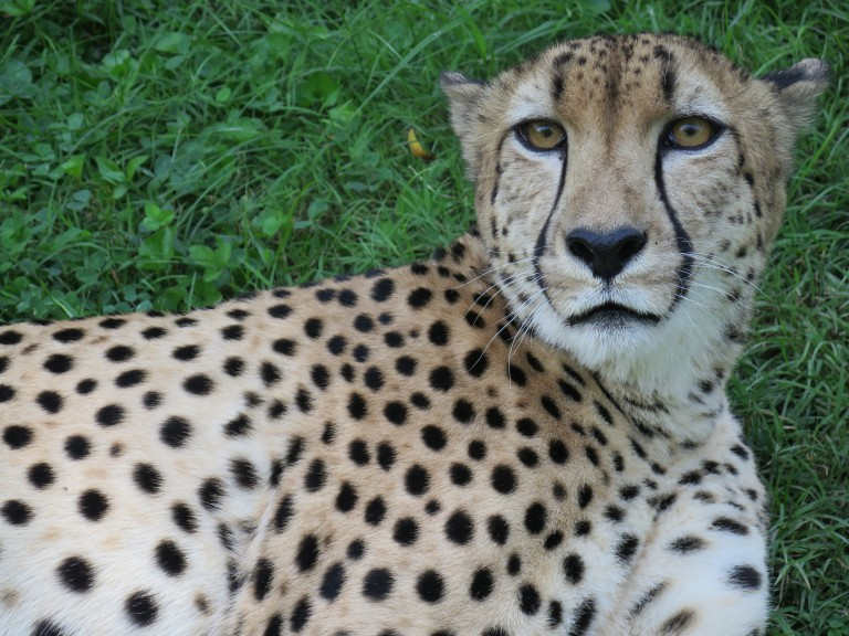 """Cheetah Justin (nicknamed """"Gat"""") lays in the grass at the Cheetah Conservation Station."""