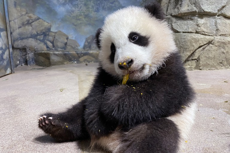 Giant panda cub Xiao Qi Ji sits in his indoor habitat and eats his first cooked sweet potato.