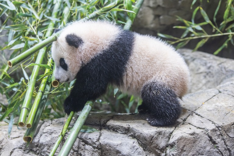 Giant panda cub Xiao Qi Ji walks over a pile of bamboo on the rockwork in his habitat. At over 5 months old, he is still and has thick black-and-white fur and large paws.