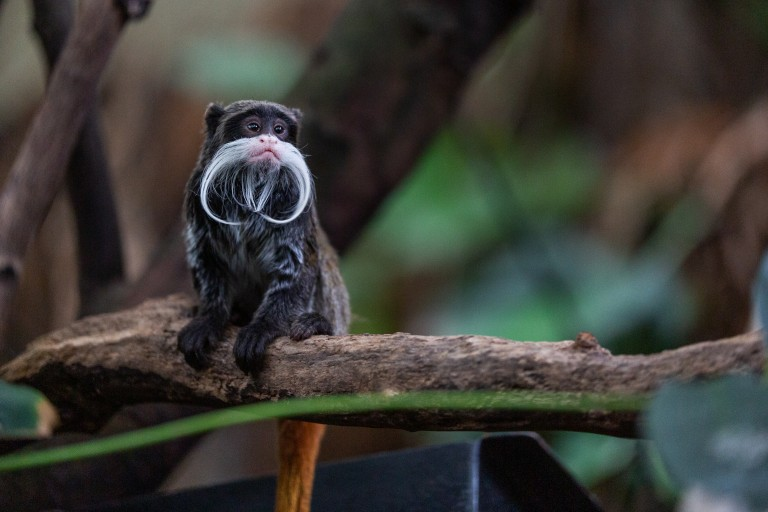 An emperor tamarin, a small monkey with a long white mustache, sitting on a branch.