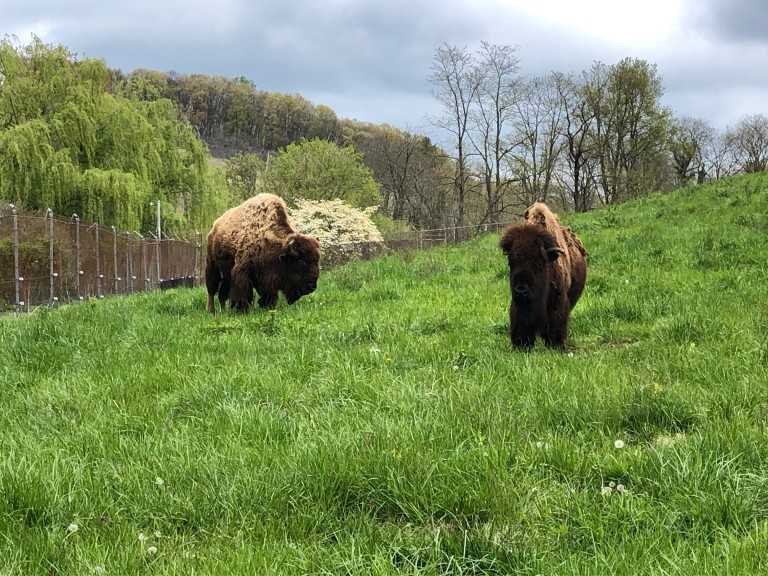 American bison Ten Bears (left) and Kicking Bird (right) at the Smithsonian Conservation Biology Institute in Front Royal, Virginia.