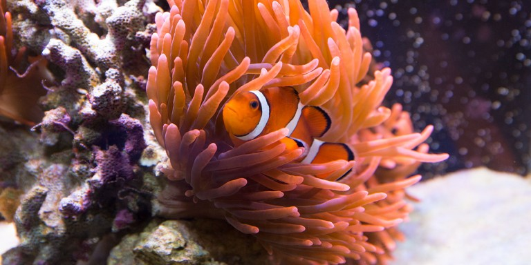 A small, bright orange clownfish with white stripes and black-lined fins nestled in a sea anemone