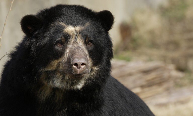 An Andean bear's face