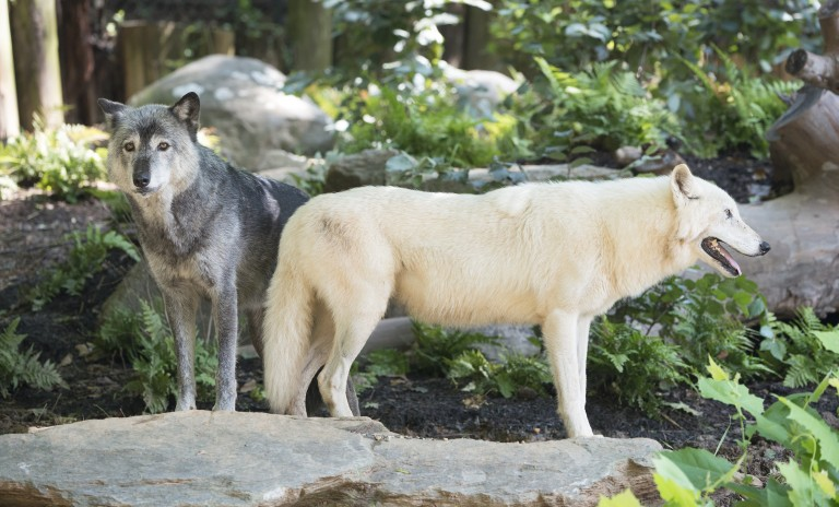 Gray wolves standing on a rock