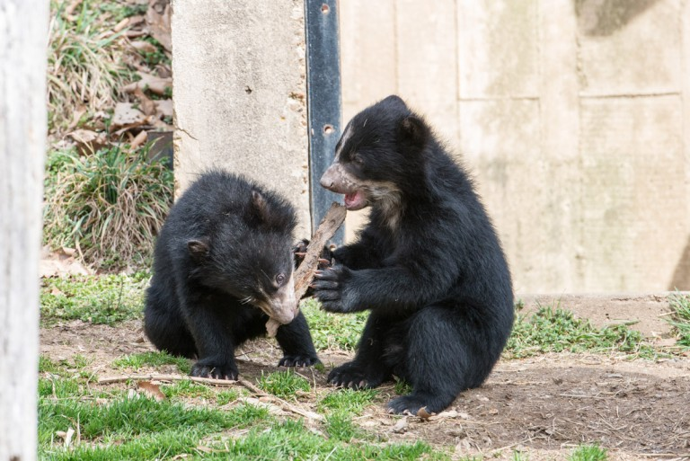 andean bear cubs play with a log together