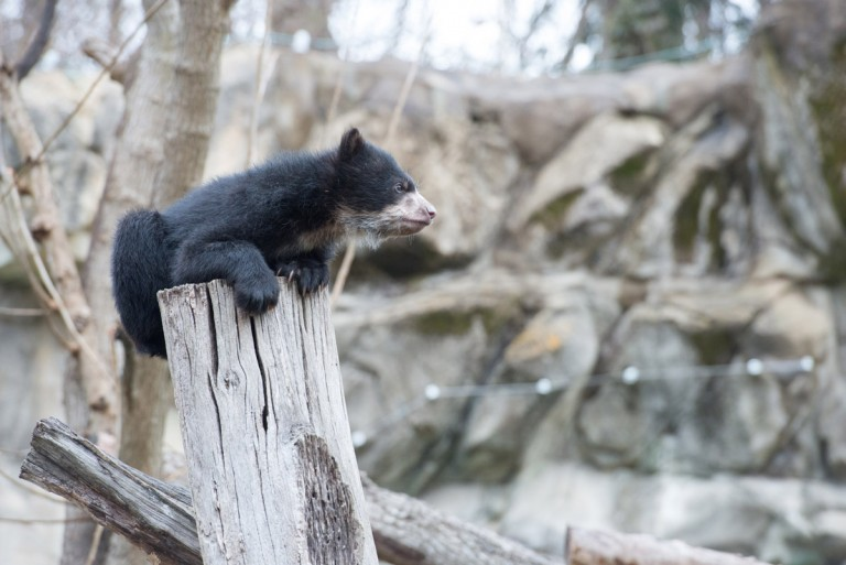 andean bear cub on top of a log looks around