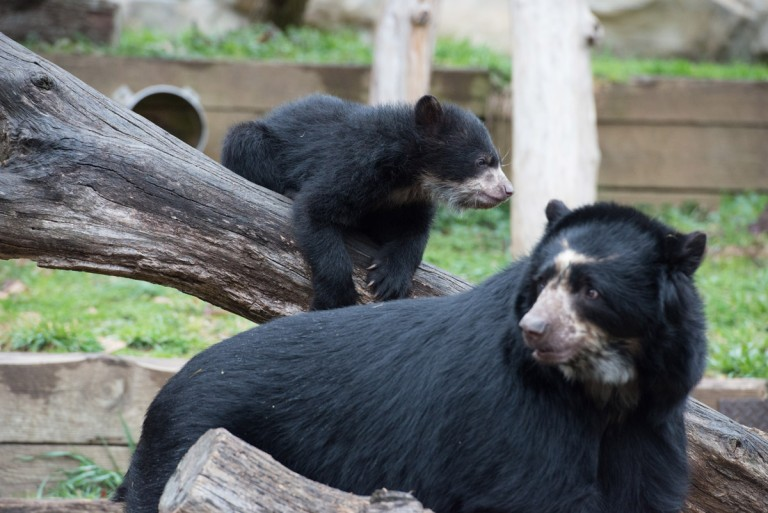 andean bear cubs with mother