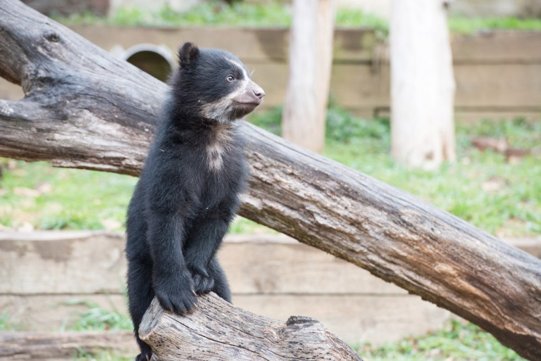 andean bear cub stands
