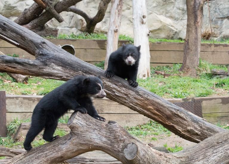 Andean bear cubs climb