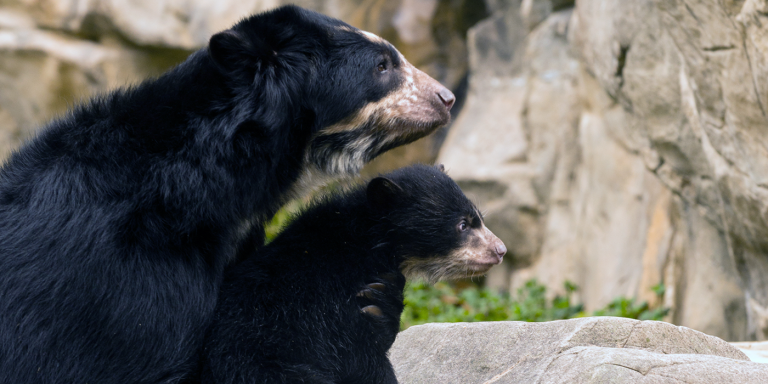 Andean bear mother and cub look together